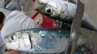 稚内港マイワシ釣り2011.8.18