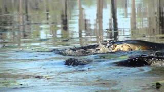 Gator Swimming With Bulldog In His Mouth For Real No Joke!!!!! .mp4