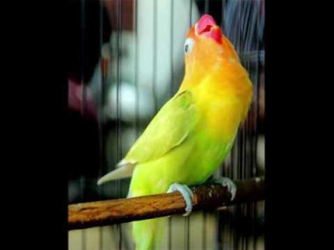 MASTERAN LOVEBIRD KASAR