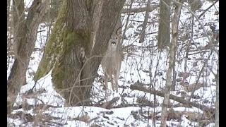 В лесах Калининградской области начался учет диких животных