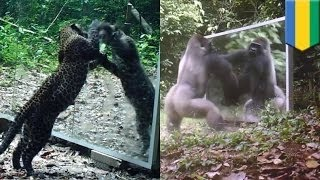 Зверушки смотрятся в зеркало, установленное фотографом в джунглях