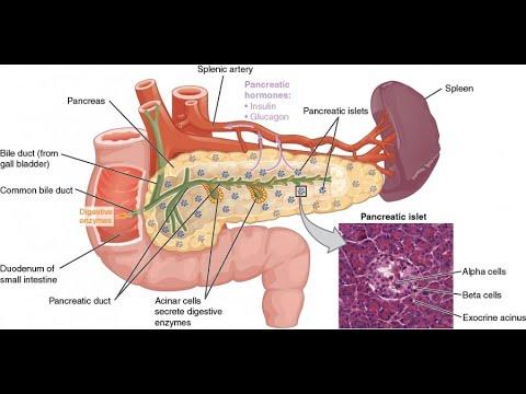 Анатомия поджелудочной железы. Строение, гистология, функции, кровоснабжение, иннервация.