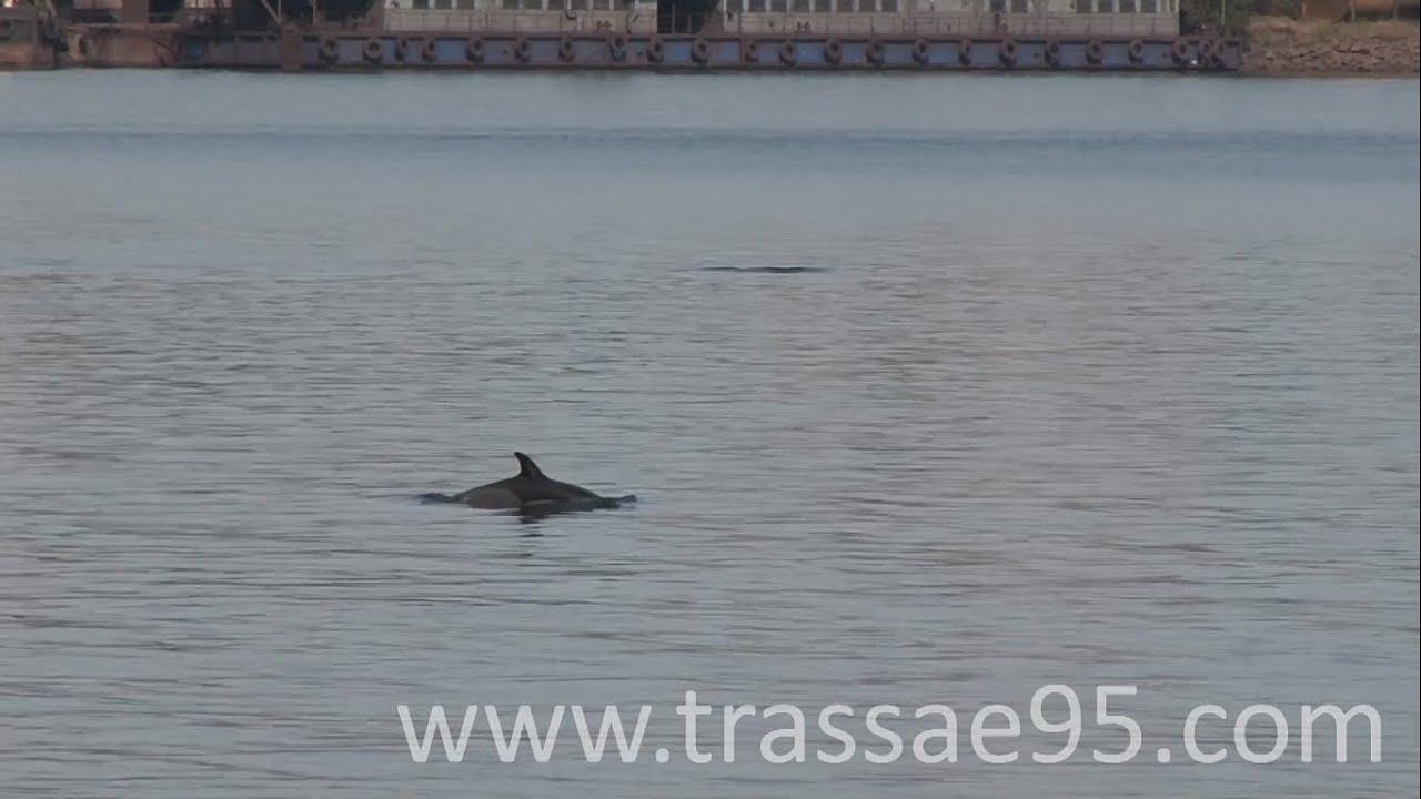Дельфины в акватории порта «Южный»