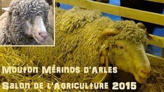 Mouton Mérinos d'Arles - Ovis aries - Linnaeus, 1758 - Salon de l'Agriculture 2015 - 03/2015