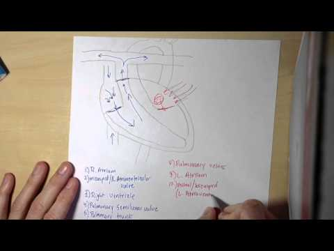 Blood Flow through the Heart (15 steps)