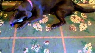 Brown Lab (Dixie) Chewing on her bone