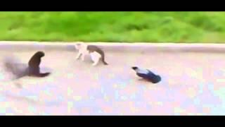 2 Crows Instigate & Start A Cat Fight!