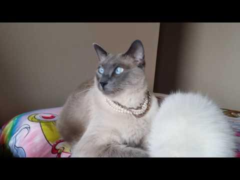 Lazy Siamese Cat