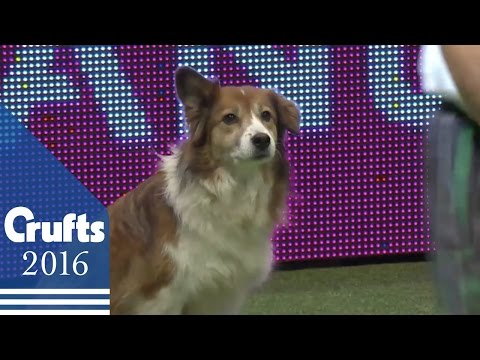 Agility - International Invitation - Large - Agility | Crufts 2016