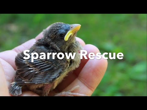 Sparrow Rescue - part one