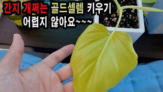 골드셀렘 의 키우기 물주기 번식법 [식물일기 EP 13…