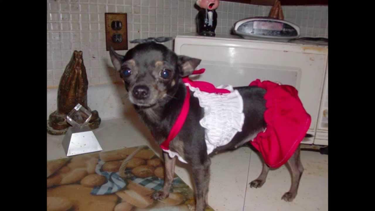 Watch Cute Thug Model Dog Wearing Earrings Part 1