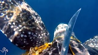 Turtle Gets Tangled Up, But Man Swims After Him To Help