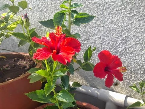 Flowering Tropical Red Hibiscus I
