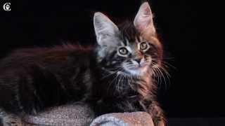 Видео котенка мейн кун черный мрамор Winnie в 2 месяца www.coonplanet.ru