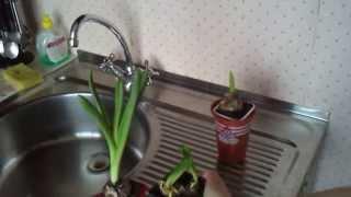 видео как ухаживать за гиацинтами