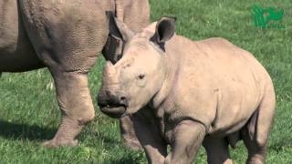 Baby Rhino's First WILD Season