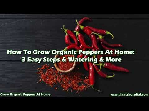How To Grow Organic Peppers At Home: 3 Easy Steps