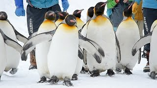 北海道旭川市の旭山動物園で12月23日、ペンギン散歩が始まった 【記...