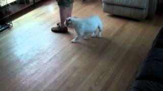 Bulldog Puppy Training