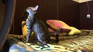 """фильм """" Мне нужна кошка"""" о кошках породы саванна питомник """"Ambiente"""""""