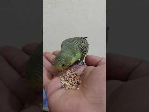 Muhabbet kuşu ele