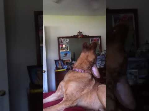 Freedom howling a funny Chesapeake Bay Retriever
