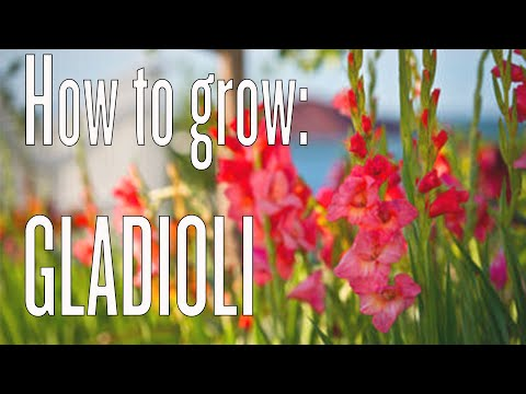 How to Grow Gladioli