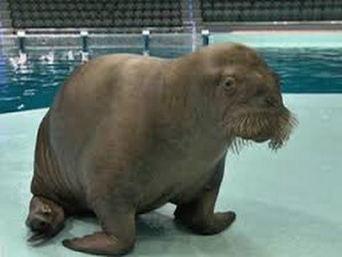 В Мире Животных МОРЖИ - гиганты Севера самые странные в мире животные