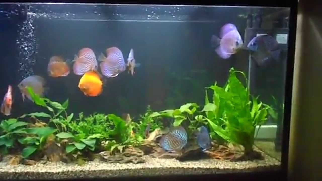 my 180 liter planted discus tank update youtube. Black Bedroom Furniture Sets. Home Design Ideas