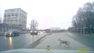 Новосибирск. Сбил собаку на Фабричной и уехал.