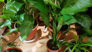 Комнатные растения часть-1. Домашние цветы.