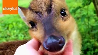 Baby Deer Loves To Lick And Be Massaged (storyful, Wild Animals)