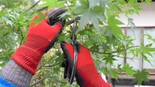 庭木の手入れ:161116モミジの剪定①