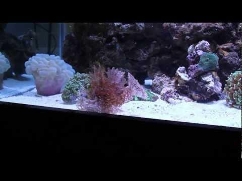 Weedy Scorpionfish Feeding Time