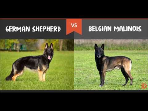 German Shepherd Dog Show @ Dr. Sagir's Pet Clinic 01912251312