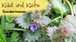 Gundermann - Gundelrebe - Wildkräuter sammeln - Kräuterkunde - Kraut und Küche