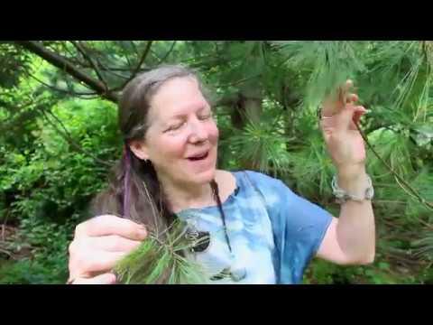 Plant Medicine Series: White Pine