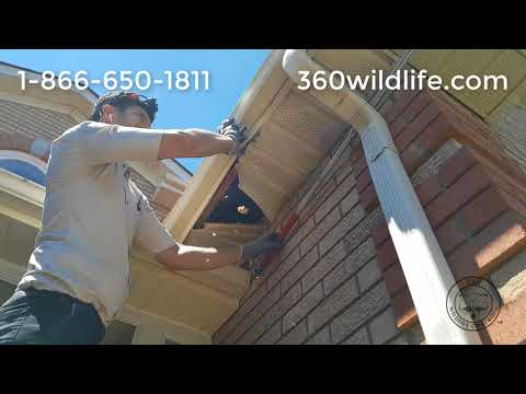 Baby Raccoon Removal (Baby Season) from soffit & between wall