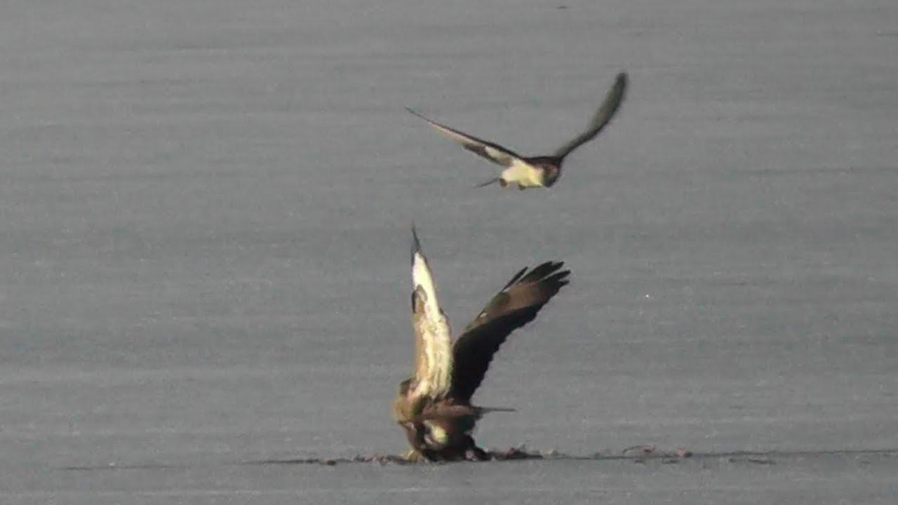 Sokol stěhovavý-Falco peregrinus-Wanderfalke-Peregrine ...