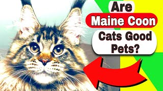 Are Maine Coon cats good pets? How much does a Maine Coon cat cost?