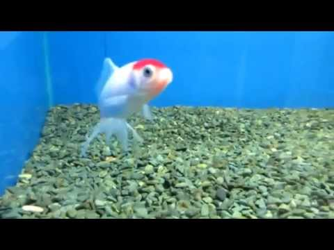 Аквариумная рыбка Оранда (красная шапочка)