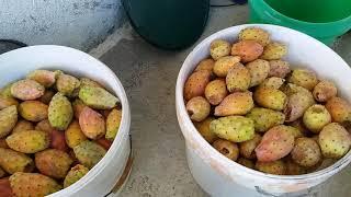 Dikenli incir  nasıl temizlenir ve yenir.(Frenk yemişi)