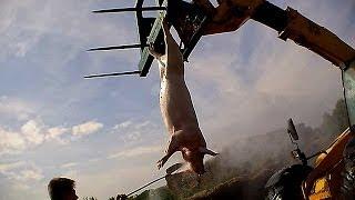 Harling Farm exposed | Inside the British Pork Industry