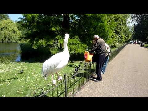Friendly Pelican in St James Park
