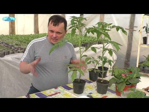 Самый радикальный способ остановить вытягивание томатов!   вытягивание   выращивание   остановить   рассадник   помидоры   теплица   рассада   томаты   как