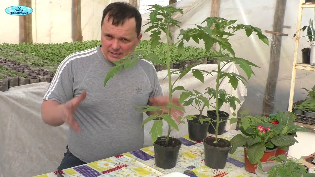 Самый радикальный способ остановить вытягивание томатов!