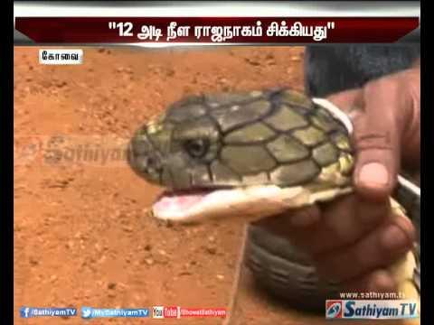 King cobra of 12ft long found near Mettupalayam, Coimbatore - Sathiyam tv News