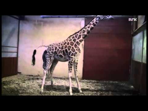 Как рождаются жирафы видео