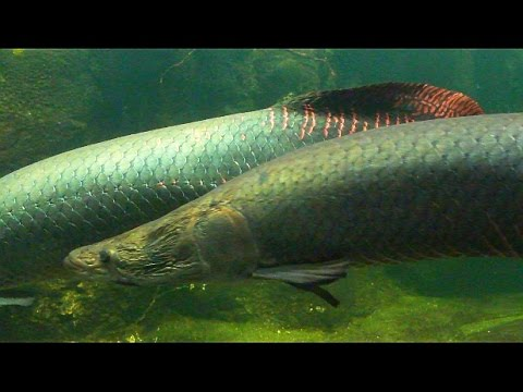 Arapaima biggest fish amazon aquarium zoo berlin youtube for Amazon aquarium fish